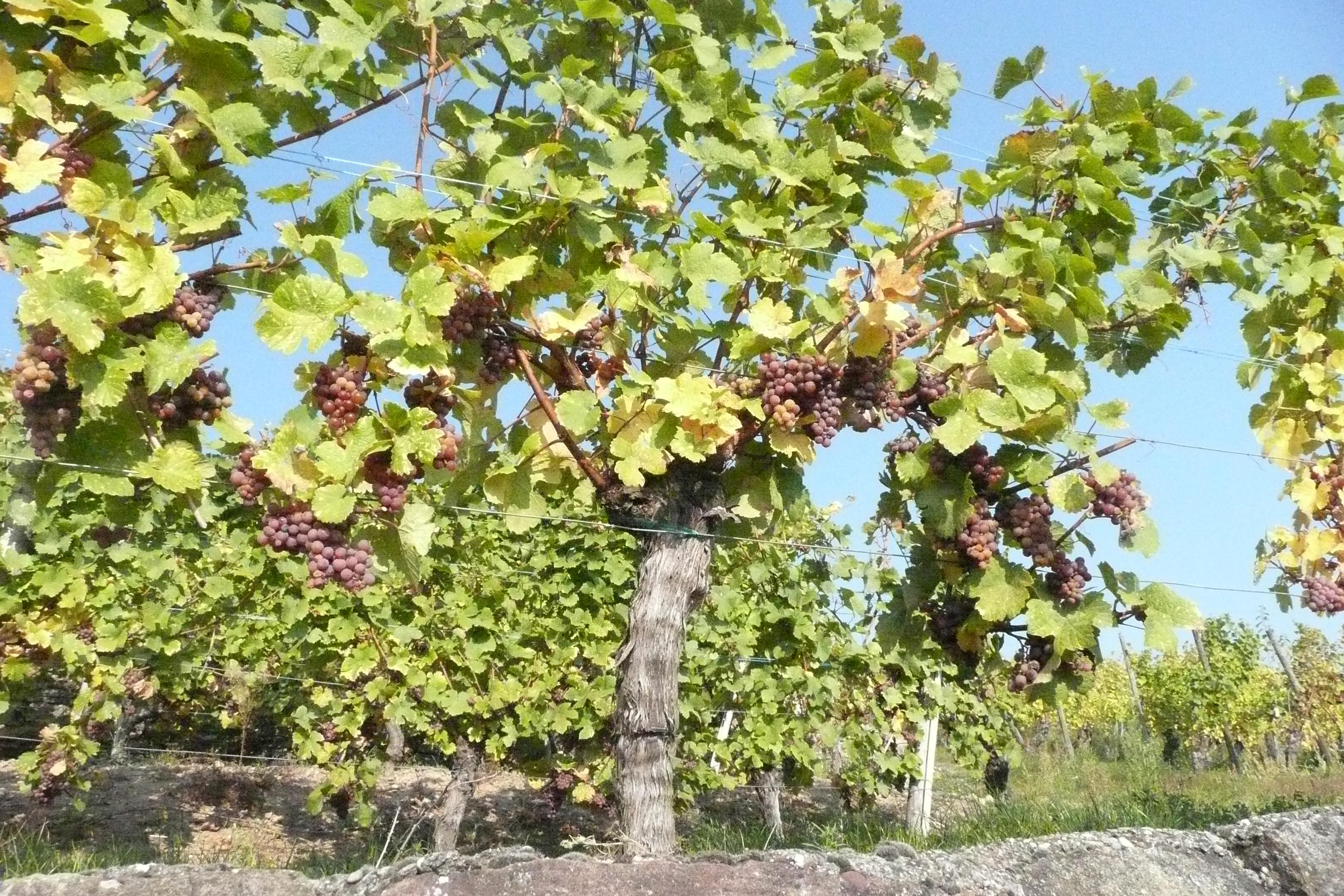 Moi je suis la vigne et vous les sarments jean 15 5 m ditations bibliques histoire d - Parasite de la vigne ...