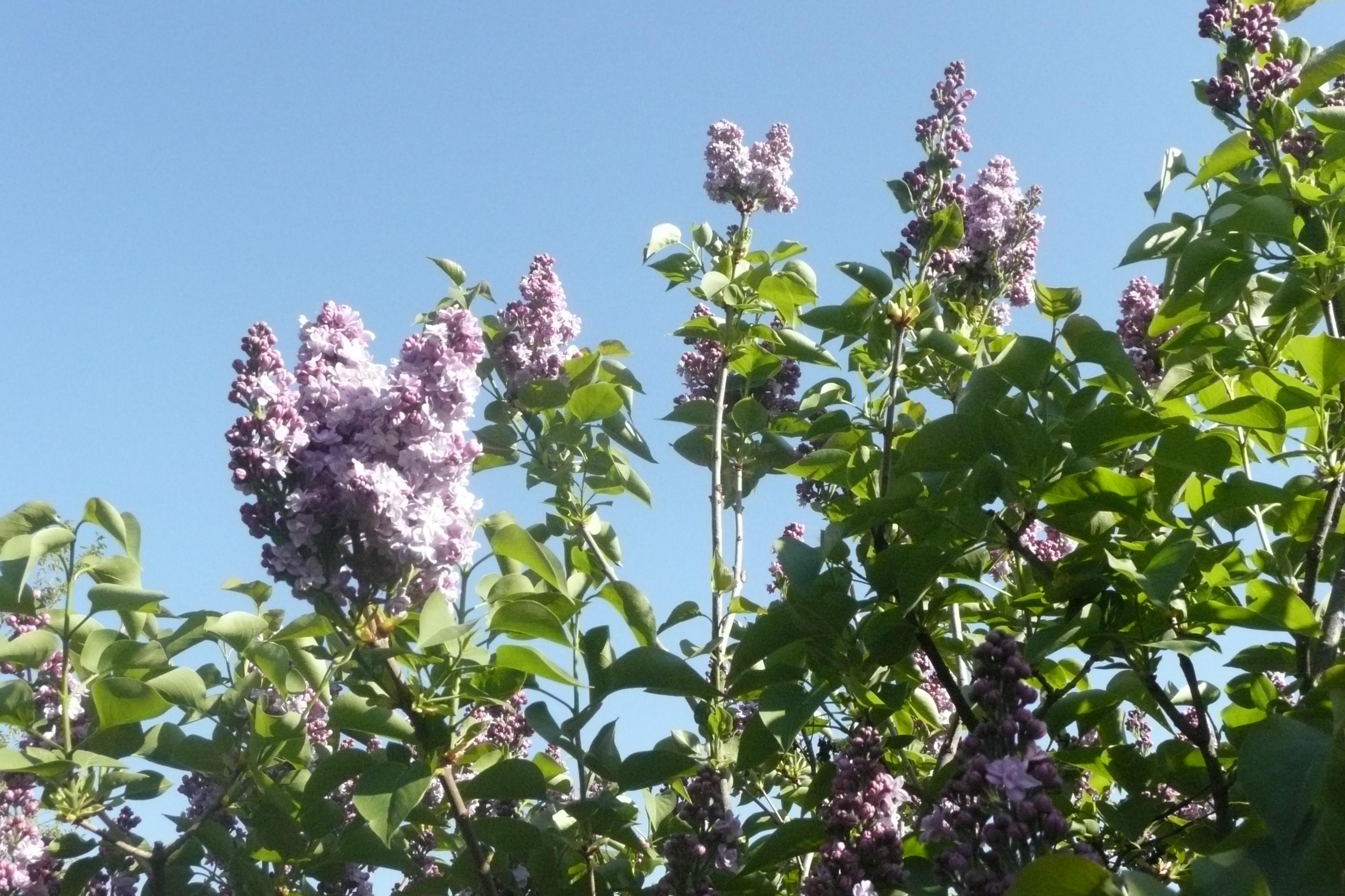 Le lilas blog histoire d 39 une foi - Au jardin de mon pere les lilas sont fleuris ...